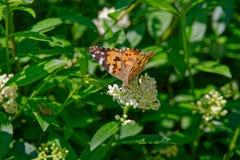 Χρωματισμένη γυναικεία πεταλούδα στο άσπρο λουλούδι ενάντια στον πράσινο φράκτη στοκ φωτογραφίες