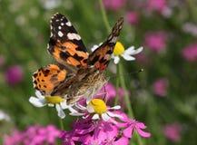 Χρωματισμένη γυναικεία πεταλούδα στο άγριο λουλούδι Στοκ φωτογραφία με δικαίωμα ελεύθερης χρήσης