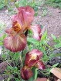 Χρωματισμένη η σκουριά Iris Στοκ Φωτογραφία