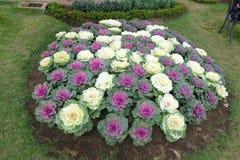 Χρωματισμένη διακόσμηση λάχανων σε έναν κήπο στοκ εικόνες