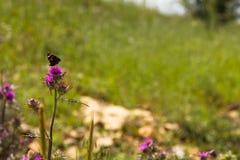 Χρωματισμένη πεταλούδα σε ένα πορφυρό λουλούδι του κάρδου γάλακτος (iberica Centaurea) στοκ φωτογραφία με δικαίωμα ελεύθερης χρήσης