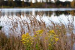 χρωματισμένη φθινόπωρο χλόη στην ακτή της λίμνης Στοκ Φωτογραφία