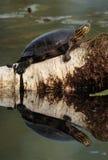 χρωματισμένη χελώνα Στοκ Εικόνες