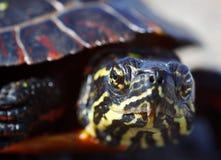 χρωματισμένη χελώνα Στοκ φωτογραφία με δικαίωμα ελεύθερης χρήσης