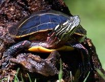 χρωματισμένη χελώνα Στοκ Εικόνα
