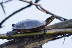 χρωματισμένη χελώνα Στοκ Φωτογραφία