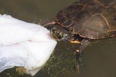 Χρωματισμένη Midland χελώνα που τρώει τα απορρίμματα Στοκ φωτογραφίες με δικαίωμα ελεύθερης χρήσης