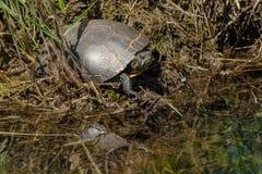 Χρωματισμένη Midland χελώνα - marginata picta Chrysemys Στοκ εικόνες με δικαίωμα ελεύθερης χρήσης