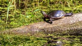 Χρωματισμένη Midland χελώνα στοκ εικόνες με δικαίωμα ελεύθερης χρήσης