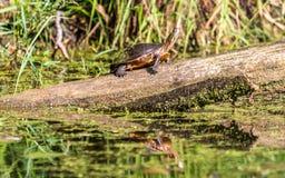 Χρωματισμένη Midland χελώνα Στοκ Εικόνα
