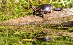 Χρωματισμένη Midland χελώνα στοκ εικόνα με δικαίωμα ελεύθερης χρήσης