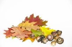 Χρωματισμένοι δρύινοι φύλλα και καρποί, βελανίδια Στοκ εικόνα με δικαίωμα ελεύθερης χρήσης