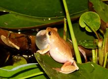 Χρωματισμένος βάτραχος αρσενική Νότια Αφρική καλάμων Στοκ φωτογραφία με δικαίωμα ελεύθερης χρήσης
