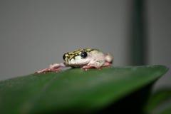 χρωματισμένος βάτραχος κά&l Στοκ Φωτογραφία