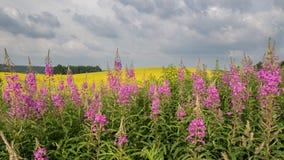 Χρωματισμένος κίτρινος ανθίζοντας τομέας Θερινό τοπίο με τα σύννεφα θύελλας Στοκ εικόνες με δικαίωμα ελεύθερης χρήσης