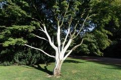 Χρωματισμένος στο λευκό από τα παράσιτα ένα δέντρο στοκ εικόνες με δικαίωμα ελεύθερης χρήσης