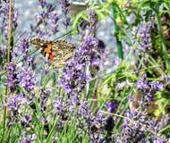 Χρωματισμένος την κυρία Butterfly με τα φτερά που διπλώνονται Στοκ Εικόνα