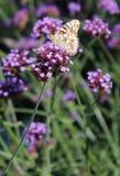 Χρωματισμένος την κυρία Butterfly σε ένα λουλούδι Στοκ φωτογραφία με δικαίωμα ελεύθερης χρήσης