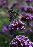 Χρωματισμένος την κυρία Butterfly σε ένα λουλούδι Στοκ φωτογραφίες με δικαίωμα ελεύθερης χρήσης