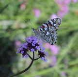 Χρωματισμένος την κυρία Butterfly σε ένα λουλούδι στοκ εικόνες