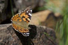 Χρωματισμένος την κυρία Butterfly 1 Στοκ φωτογραφία με δικαίωμα ελεύθερης χρήσης