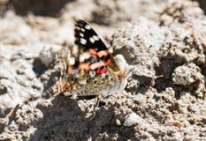 Χρωματισμένος την κυρία Cynthia Butterfly με τα φτερά που κυματίζουν στο έδαφος Στοκ φωτογραφία με δικαίωμα ελεύθερης χρήσης