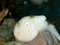 Χρωματισμένος frogfish, pictus Antennarius Pulisan, Ινδονησία στοκ εικόνα