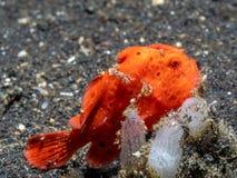 Χρωματισμένος frogfish, pictus Antennarius Pulisan, Ινδονησία στοκ φωτογραφία με δικαίωμα ελεύθερης χρήσης