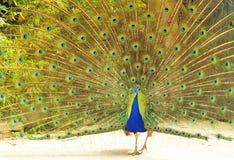 χρωματισμένος peacock Στοκ φωτογραφίες με δικαίωμα ελεύθερης χρήσης