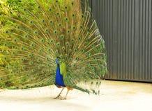 χρωματισμένος peacock Στοκ εικόνα με δικαίωμα ελεύθερης χρήσης