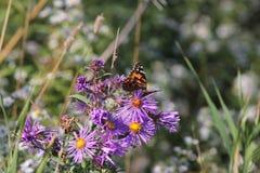 Χρωματισμένο γυναικείο Butterfly Vanessa cardui στον αστέρα της Νέας Αγγλίας Στοκ φωτογραφίες με δικαίωμα ελεύθερης χρήσης