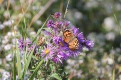 Χρωματισμένο γυναικείο Butterfly Vanessa cardui στον αστέρα της Νέας Αγγλίας Στοκ εικόνες με δικαίωμα ελεύθερης χρήσης