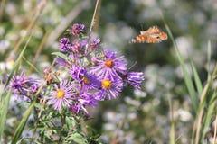 Χρωματισμένο γυναικείο Butterfly Vanessa cardui στον αστέρα της Νέας Αγγλίας Στοκ εικόνα με δικαίωμα ελεύθερης χρήσης