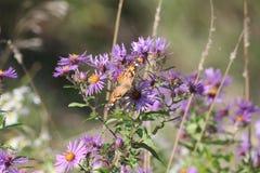 Χρωματισμένο γυναικείο Butterfly Vanessa cardui στον αστέρα της Νέας Αγγλίας Στοκ Φωτογραφίες