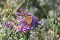 Χρωματισμένο γυναικείο Butterfly Vanessa cardui στον αστέρα της Νέας Αγγλίας Στοκ Φωτογραφία