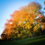 Χρωματισμένο δέντρο σε ένα πάρκο του Λονδίνου το φθινόπωρο στοκ εικόνες με δικαίωμα ελεύθερης χρήσης