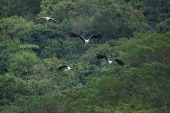 Χρωματισμένο ζεύγη πουλί πελαργών που πετά ενάντια στις πράσινες φυσικές άγρια περιοχές στοκ εικόνες με δικαίωμα ελεύθερης χρήσης