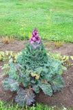 Χρωματισμένο διακοσμητικό λάχανο κοντά επάνω Στοκ Εικόνες