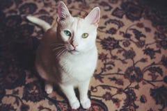Χρωματισμένο διπλάσιο μάτι γατών στοκ εικόνες