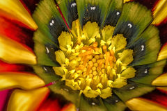 Χρωματισμένο λουλούδι μαργαριτών Στοκ Εικόνες