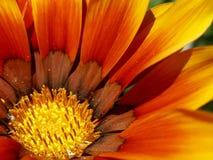χρωματισμένο λουλούδι π&om Στοκ Εικόνες