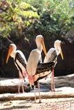 Χρωματισμένο μεγάλο wading πουλί πελαργών Στοκ εικόνες με δικαίωμα ελεύθερης χρήσης