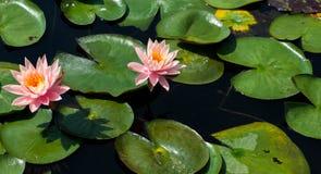 Χρωματισμένο ροδάκινο λουλούδι γύρω από τα waterlilies στοκ εικόνες