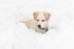 Χρωματισμένο το κρέμα σκυλί κάθεται στο βαθύ χιόνι στοκ εικόνα με δικαίωμα ελεύθερης χρήσης