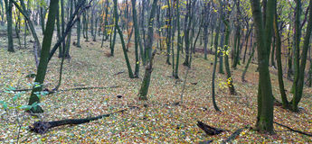 Χρωματισμένο φθινόπωρο δάσος Στοκ Εικόνες