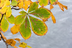 Χρωματισμένο φθινόπωρο φύλλο κάστανων στον ποταμό Στοκ Εικόνες