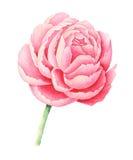 Χρωματισμένο χέρι ροζ watercolor peony που απομονώνει στο άσπρο υπόβαθρο ελεύθερη απεικόνιση δικαιώματος