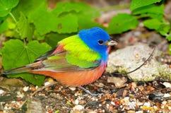 Χρωματισμένο ύφασμα - αρσενικό. Νότιο Τέξας Στοκ Φωτογραφία