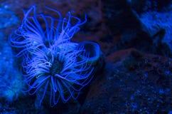 Χρωματισμένο anemone σωλήνων Στοκ εικόνες με δικαίωμα ελεύθερης χρήσης