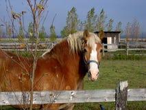 Χρωματισμένο Butterscotch άλογο Στοκ Φωτογραφίες
